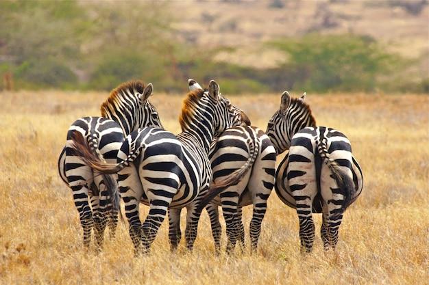 Wild zebras standing together