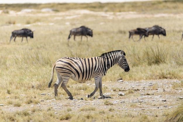 ヌーアンテロープとアフリカのサバンナを歩く野生のシマウマ