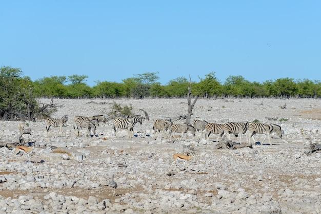 Дикие зебры гуляют в африканской саванне