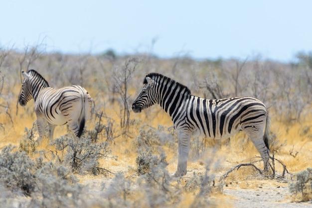 아프리카 사바나에서 걷는 야생 얼룩말