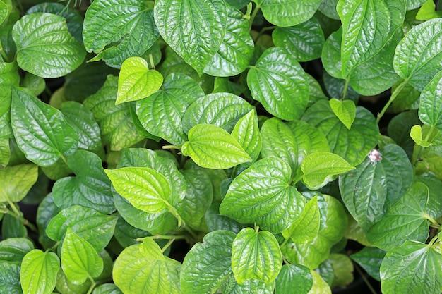 Wildbetal leaf bush