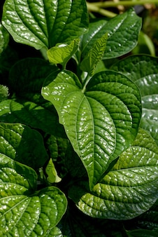Wildbetal leafbush or piper sarmentosum leaves on nature background.