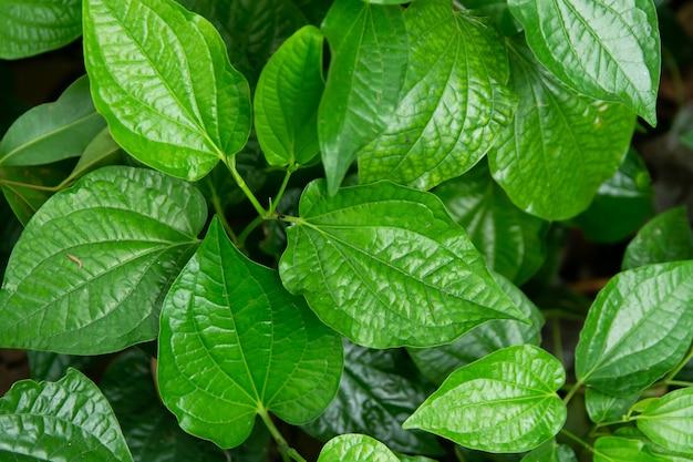 Wildbetal leafbush (piper sarmentosum roxb) leaves green background