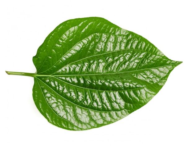 Wildbetal leafbushには多くの薬効成分があります