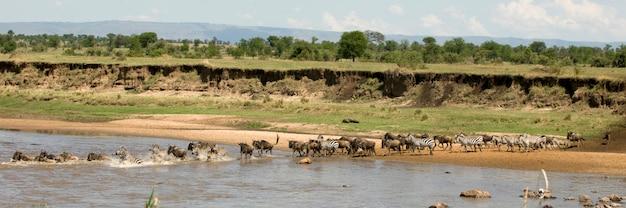 アフリカ、タンザニアのセレンゲティで川を渡るヌーとシマウマ