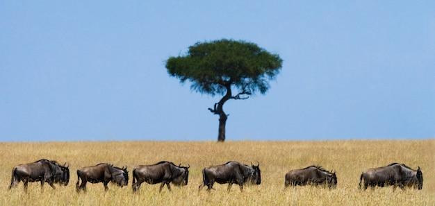 Гну преследуют друг друга в саванне. великая миграция. кения. танзания. национальный парк масаи мара.