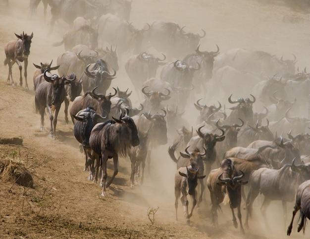 ヌーはサバンナでお互いを追いかけています。大移動。ケニア。タンザニア。マサイマラ国立公園。