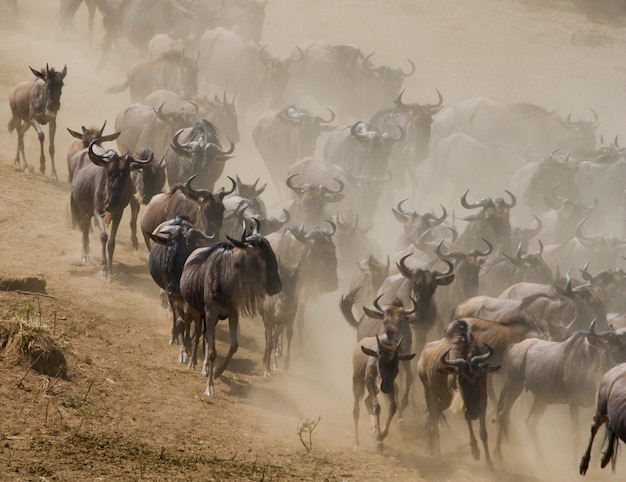 Wildebeest are following each other in the savannah. great migration. kenya. tanzania. masai mara national park.