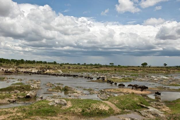 アフリカのタンザニアのセレンゲティで川を渡るヌー