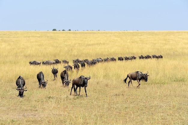 Антилопа гну в национальном парке кении