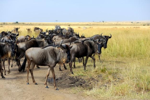 ケニアの国立公園のヌー