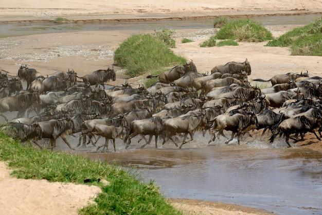 Гну в саванне, национальный парк кении, африка