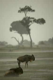 アフリカのタンザニアのセレンゲティで雨の中ヌー