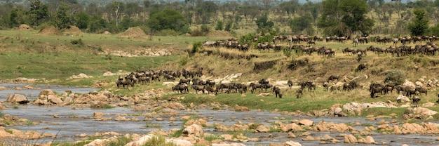 セレンゲティ、タンザニア、アフリカのヌー
