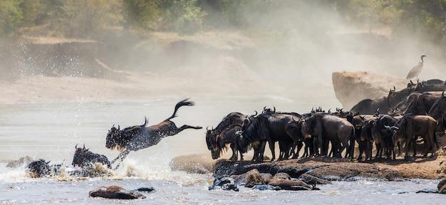 Гну прыгает в реку мара. великая миграция. кения. танзания. национальный парк масаи мара.