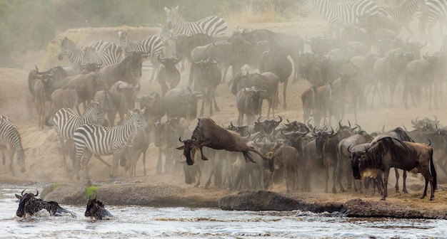 Wildebeest jumping into mara river. great migration. kenya. tanzania. masai mara national park.