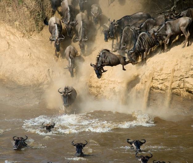 Гну прыгает в реку мара