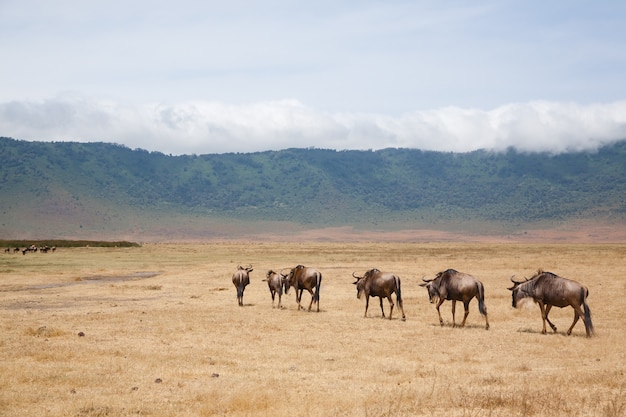 Wildebeest in a row on ngorongoro conservation area crater, tanzania