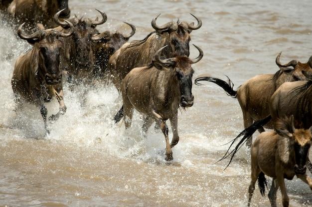 アフリカのタンザニアのセレンゲティの川を走るヌー