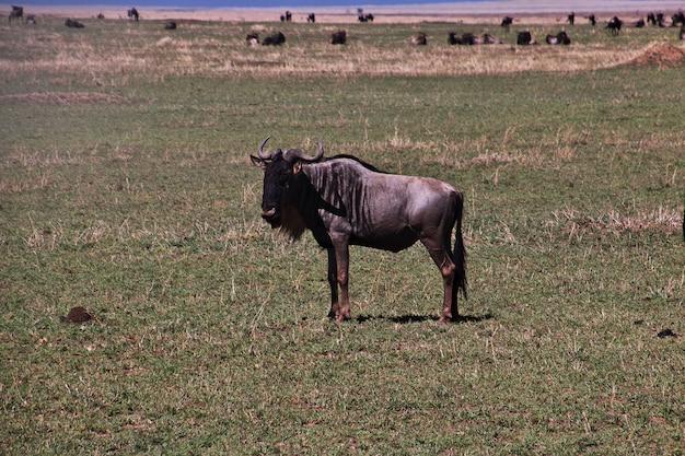 Wildebeest on safari in kenia and tanzania, africa