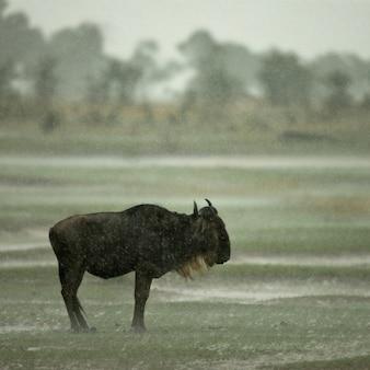 アフリカのタンザニアのセレンゲティで雨の中で立っているヌー