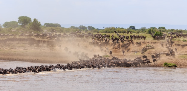 Wildebeest  and zebras migration on serengeti national park