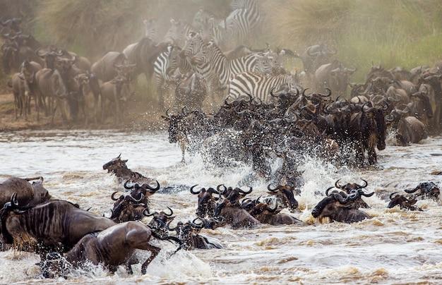 Wildebeests are crossing mara river. great migration. kenya. tanzania. masai mara national park.
