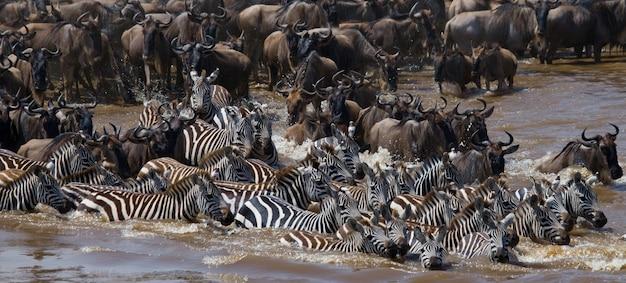 Гну переходят реку мара. великая миграция. кения. танзания. национальный парк масаи мара.