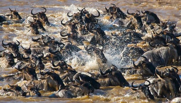 Гну переходят реку мара