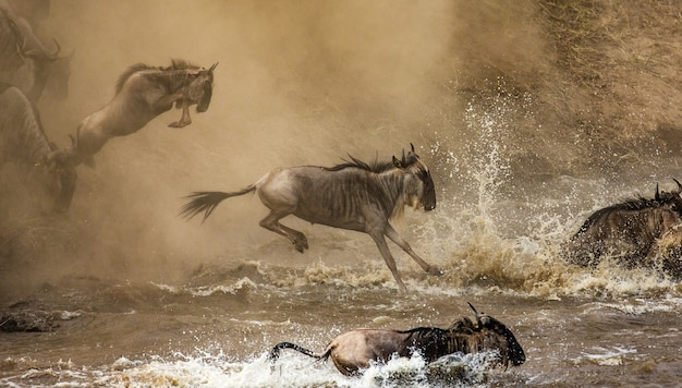 누우가 마라 강으로 뛰어 들고 있습니다. 훌륭한 마이그레이션.