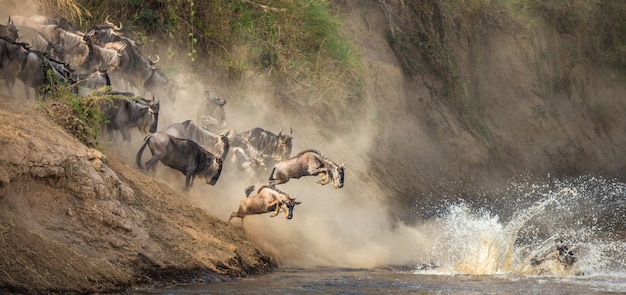 Гну прыгают в реку мара. великая миграция.