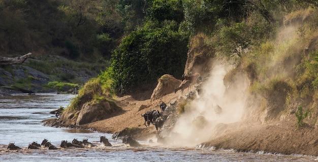 Гну бегут к реке мара. великая миграция. кения. танзания. национальный парк масаи мара.