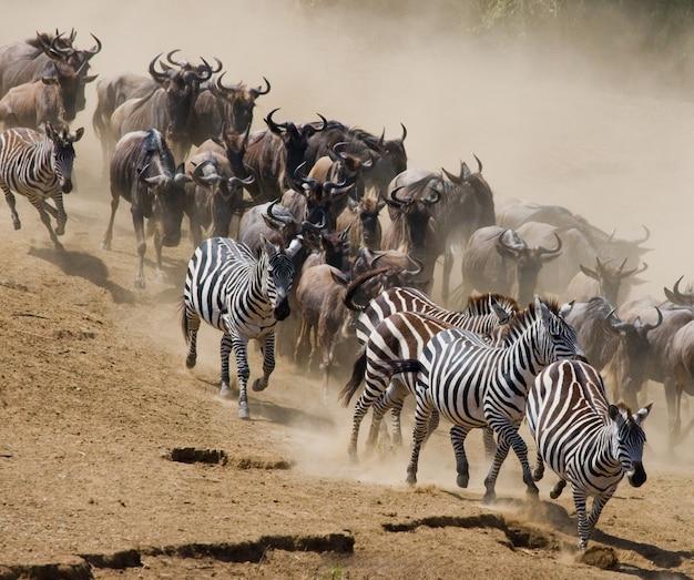 ヌーはマラ川に向かって走っています。大移動。ケニア。タンザニア。マサイマラ国立公園。