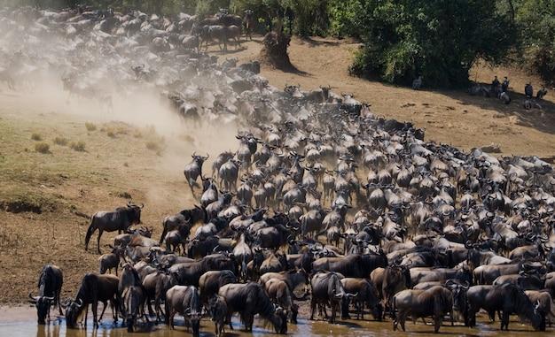 Wildebeests are running through the savannah. great migration. kenya. tanzania. masai mara national park. motion effect.