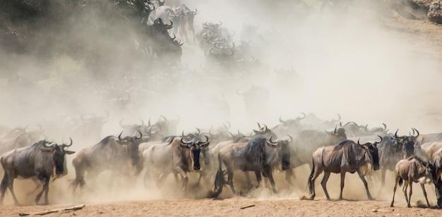 Гну бегают по саванне. великая миграция. кения. танзания. национальный парк масаи мара. эффект движения.