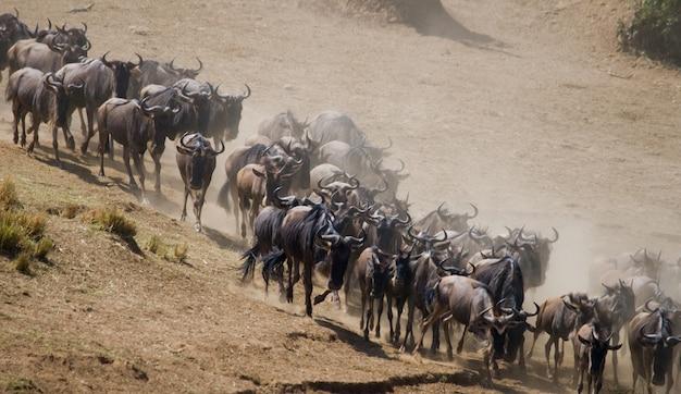 ヌーはサバンナを駆け抜けています。大移動。ケニア。タンザニア。マサイマラ国立公園。モーションエフェクト。
