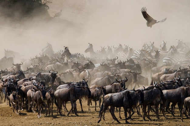 Wildebeests are standing in the savannah. great migration. kenya. tanzania. masai mara national park.