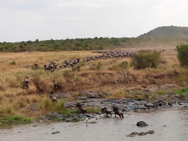 ケニアアフリカのwilderbeast great migration river crossing