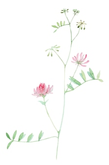 Wildflower in hand drawn watercolor isolated on white background. botanical herb wildflower hand painted.
