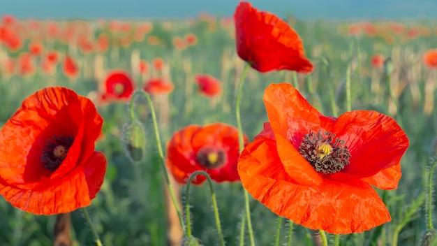 Wildflower poppy, against the blue sky