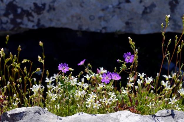 야생화 : 일부 산 바위에 제라늄 sylvaticum 및 saxifraga trifurcata