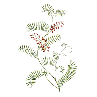 Полевые лекарственные tufted vetch акварельные иллюстрации. изолированный цветок, гербарий. точная ботаническая иллюстрация.