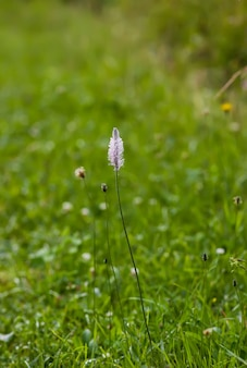 Полевые цветы на летнем поле. цветок подорожника.