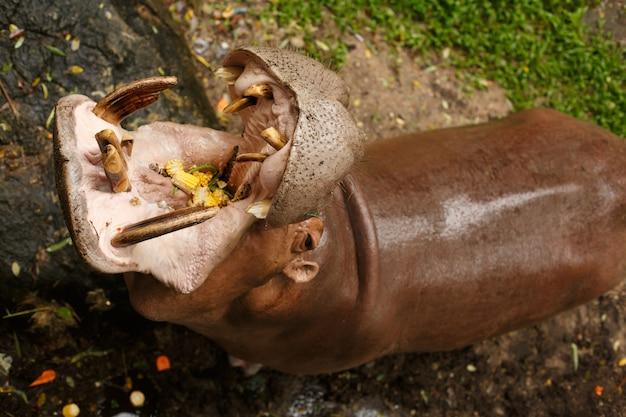 Животное дикой природы. бегемот сидит в воде с открытым ртом, ловит еду, кукурузу и стручки фасоли.