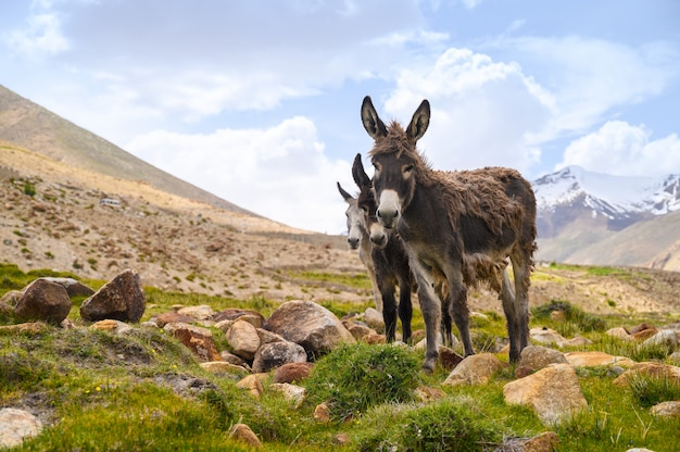 Wildlife donkeys on mountain