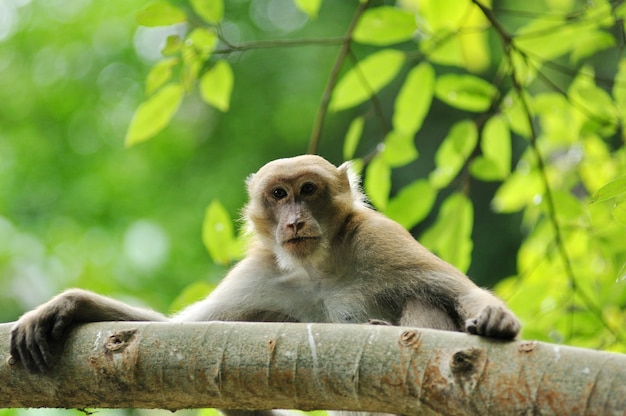 Wildlife macaque in the nature