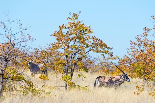 Wildlife safari in the mapungubwe national park, south africa.