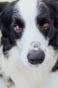 Will you marry me funny portrait of cute puppy dog border collie holding wedding ring on nose isolat...