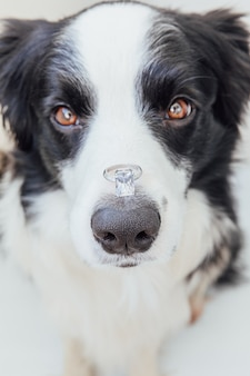 Will you marry me. funny portrait of cute puppy dog border collie holding wedding ring on nose isolated on white background. engagement, marriage, proposal concept