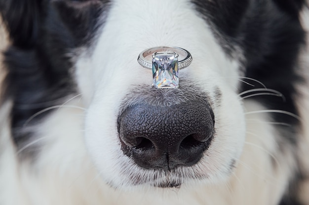 Will you marry me. funny portrait of cute puppy dog border collie holding wedding ring on nose isolated on white
